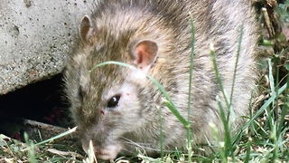 Rat-Infested House - Video