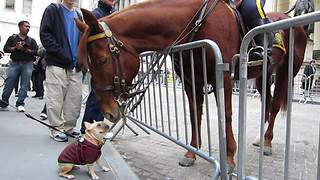 Dog Snatches The Chance To Meet With NYPD Police Horse On Wall Street - Video
