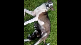 Stray dog raises abandoned kittens