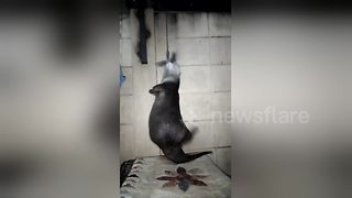 Otter spins round while hanging by his teeth - Video