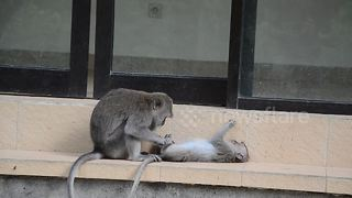 Monkey takes pleasure in grooming a pal