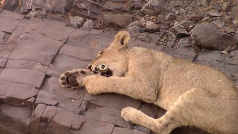 Shocking footage shows lion licking a beer can lazily tossed aside by careless tourist