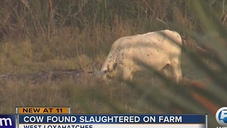Cow found slaughtered on farm - Video