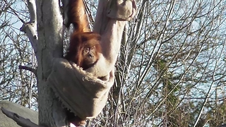 Clever Orangutan Youngster Build Its Own Hammock - Video