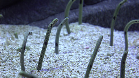 Eels Get High Due to Pollution