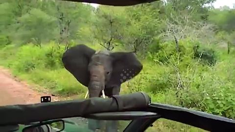 Young Elephant Charges At Safari Vehicle Entertaining Tourists