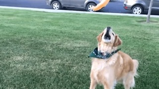 Hilarious Golden Retriever Struggles To Catch Food In His Mouth  - Video