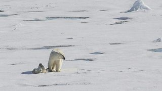 Un-Bear-Ably Adorable Moment Polar Bear Cub Plays In Icy Puddles For The First Time - Video