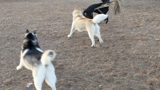 Labrador Flaunts Large Stick, Goads Huskies into Chase  - Video