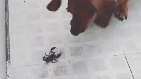 Have You Ever Seen A Dog Faced Scorpion!!!