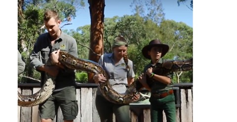It Takes 5 People to Weigh 'Monster' the Giant Python