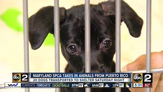 Maryland SPCA takes in dogs from Puerto Rico - Video