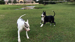 Max and Katie the Great Danes Love To Play Together