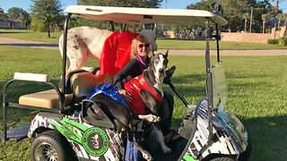 Wonder Woman Great Dane Sits Like a Person in Golf Cart  - Video