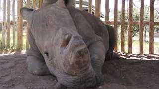 World's Last Male Northern White Rhino Dies in Kenya Sanctuary - Video