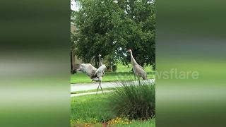 Cranes put on extravagant display during courtship - Video
