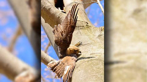 Trapped Hawk Down: Bird Of Prey Released After Being Caught In Tree