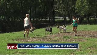 One of the worst Florida flea seasons in years, veterinarians say - Video
