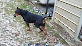 Amazing dog breeds: Interesting facts about Doberman Pinschers
