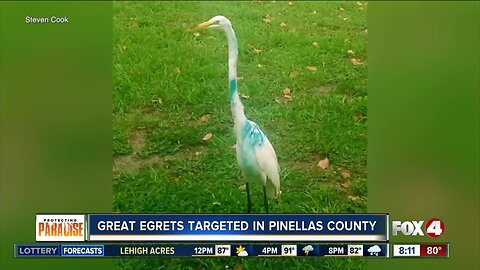 Man searches for someone who keeps shooting Egrets