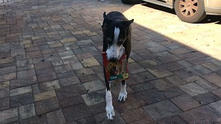 Great Dane thrilled to carry dog treats inside home - Video