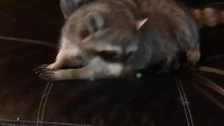 Cat and raccoon wrestling match ends in wipe out - Video