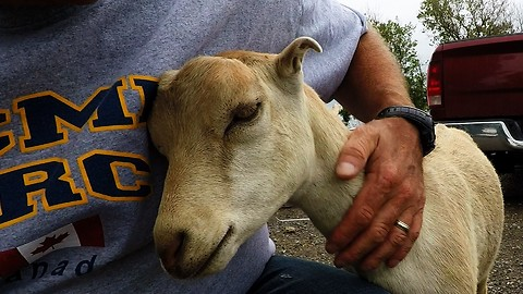Affectionate Goat Loves Being Pet Like A Puppy