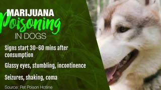 Pet owner warning others about marijuana poisoning - Video