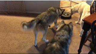 Curious Huskies Intrigued By New Robot Vacuum - Video
