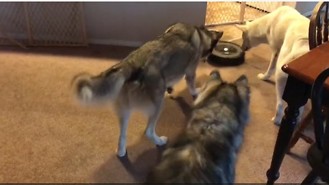 Huskies totally bewildered by new robot vacuum