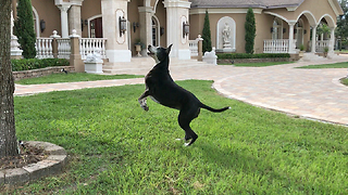 Funny Great Dane Leaps and Bounces Chasing Squirrel  - Video