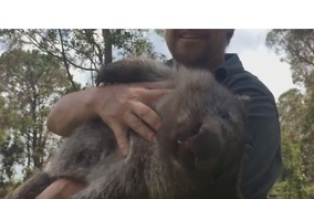 George the Wombat Follows 'Surrogate Mum' Around Reptile Park After Sleepover - Video