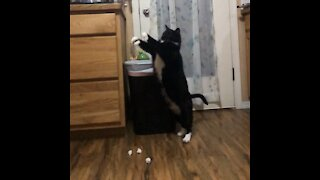 This athletic cat loves to play garbage can basketball