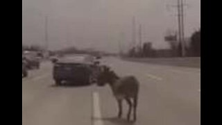 Donkey Found Wandering on Highway in Chicago