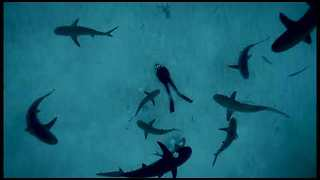 Diver Lays On Sea Floor While Sharks Swim Above - Video