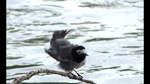 The Wagtail is cleaning its feathers