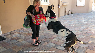 Great Dane has fun delivering groceries to the house
