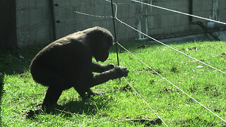 Gorilla youngster astonishingly dodges electric fence