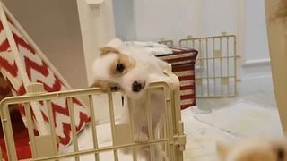 Jack Russell puppy's epic escape from enclosure - Video