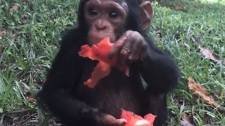Chimpanzee From Viral Flight Video 'Doing Very Well' and Loves Tomatoes - Video