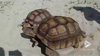 Tortoises going round in circles - Video