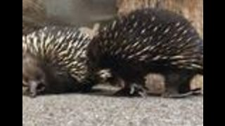 'But First, Let Me Take a Selfie': Curious Echidnas Investigate Camera - Video