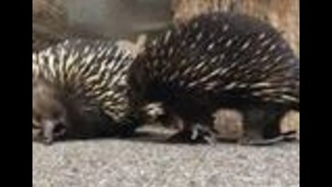'But First, Let Me Take a Selfie': Curious Echidnas Investigate Camera