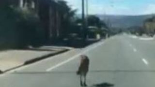 Car Overtakes as Kangaroo Hops on Busy South Australia Road - Video