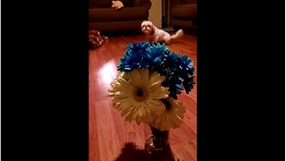 Shi Tzu absolutely terrified of flowers
