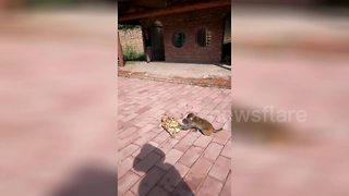 Monkey gives slow-moving turtle a gentle push