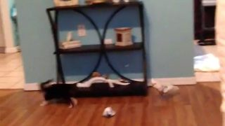 Cockatoo Plays Tag With Adorable Puppy Around The House - Video
