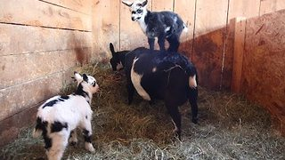 Goats Show Off Their Sweet Parkour Skills on Their Mom - Video