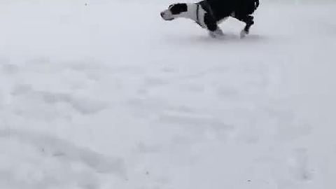 Great Dane plays in the snow