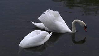 Swan and goose fight over territorial dispute - Video